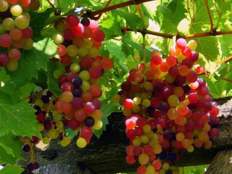 Red Grapes Wallpapers 3