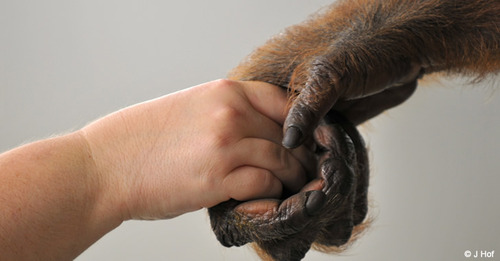 child and chimp hands