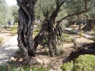 Olive Grove, Garden of Gethsemane